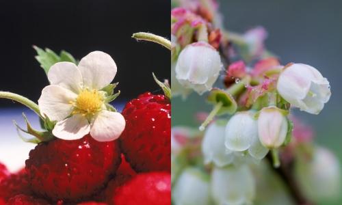 berry fruit (3)