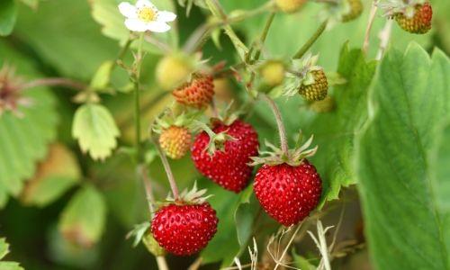 strawberry fruit veggie (3)