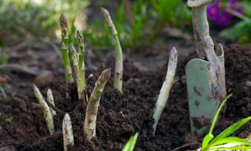 asparagus expensive (2)