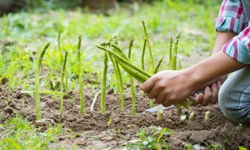 asparagus expensive (4)