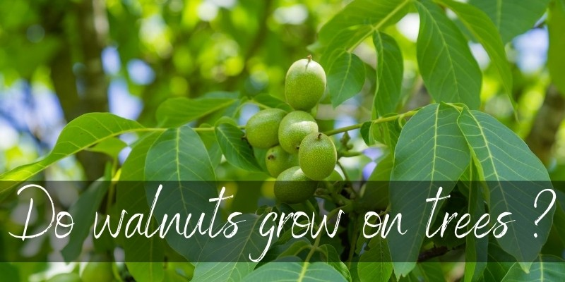 Read more about the article Do Walnuts Grow On Trees ? Here's What You Should Know
