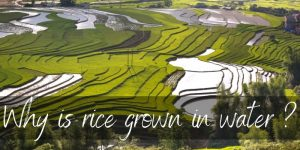 Read more about the article Here's Why Rice Is Grown In Water, And Why It Matters