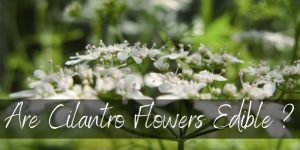 Read more about the article Are Cilantro Flowers Edible ? Here's What We Found Out