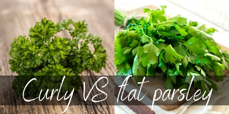 curly flat parsley