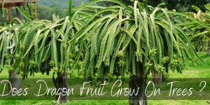 Read more about the article Does Dragon Fruit Grow On Trees ? You May Be Surprised