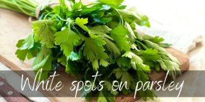 Read more about the article White Spots On Parsley: Causes And Treatment