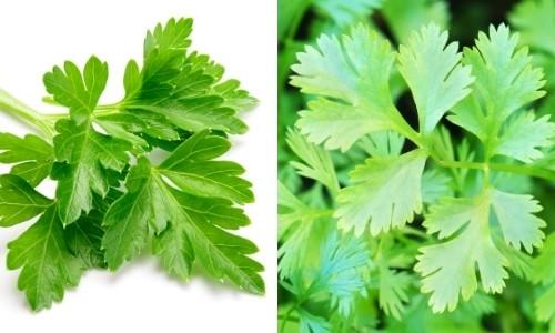 parsley and coriander