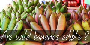 Read more about the article Are Wild Bananas Edible ? Here's What You Should Know
