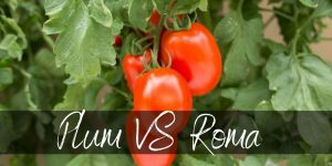 Read more about the article Plum Tomatoes VS Roma Tomatoes: Is There Actually a Difference?