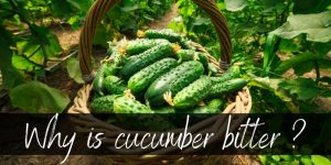Read more about the article Why Is Cucumber Bitter ? Here's Why, And What To Do About It
