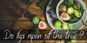 Read more about the article Do Figs Ripen After Picking ? Here's What Really Happens