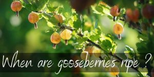 When Are Gooseberries Ripe ? Here's What To Know