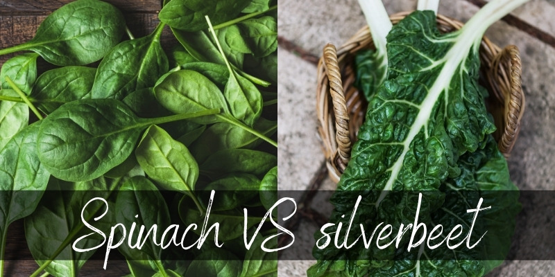 spinach vs silverbeet