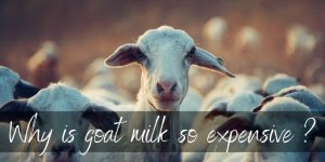 Read more about the article Why Is Goat Milk So Expensive ? It Takes A Lot Of Goats