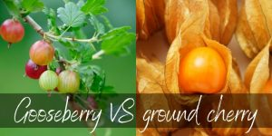 Read more about the article Gooseberries VS Ground Cherries – How To Tell Them Apart