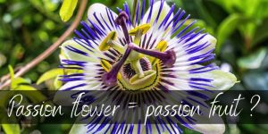 Read more about the article Are Passion Fruit And Passion Flower The Same ? Here's What We Know