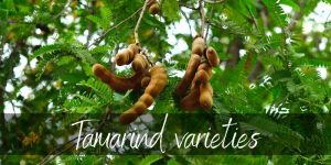Tamarind Varieties: Exploring All The Delicious Options