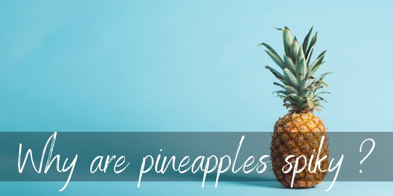 Read more about the article Why Are Pineapples Spiky ? Here's What's Going On