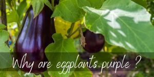 Why Are Eggplants Purple ? Here's What's Happening