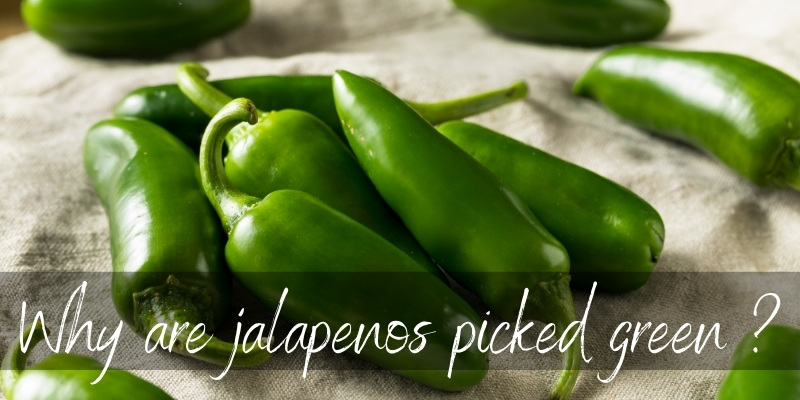 Read more about the article Why Are Jalapenos Picked Green ? 3 Reasons For Their Color