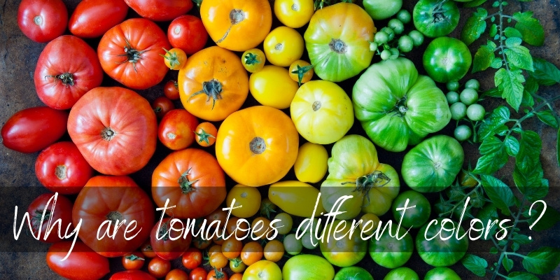 tomato different colors