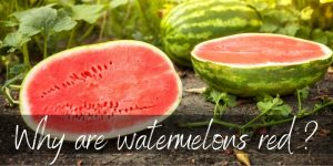 Why Are Watermelons Red ? Here's What's Happening