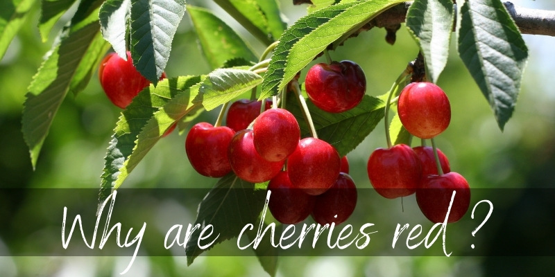 Read more about the article Why Are Cherries Red ? Here's What's Happening