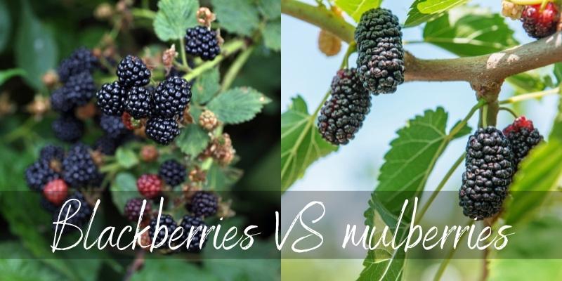 blackberries vs mulberries